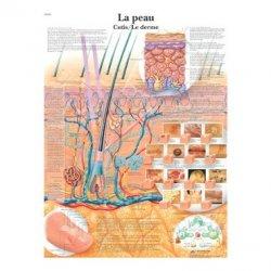 Skin / Cutis anatomical chart