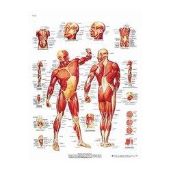 Charte Anatomique La Musculature Humaine
