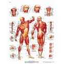 Anatomical Chart - Human Musculature