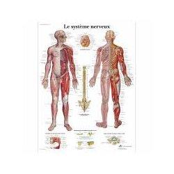 Human Nervous System Chart