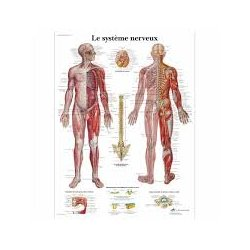 Anatomical Chart - Human Nervous System