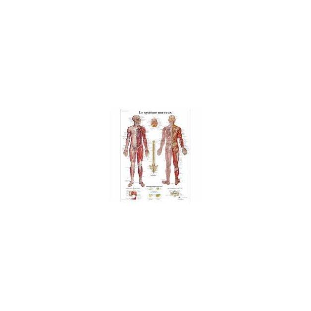 Anatomical Chart Human Nervous System Massageboutik