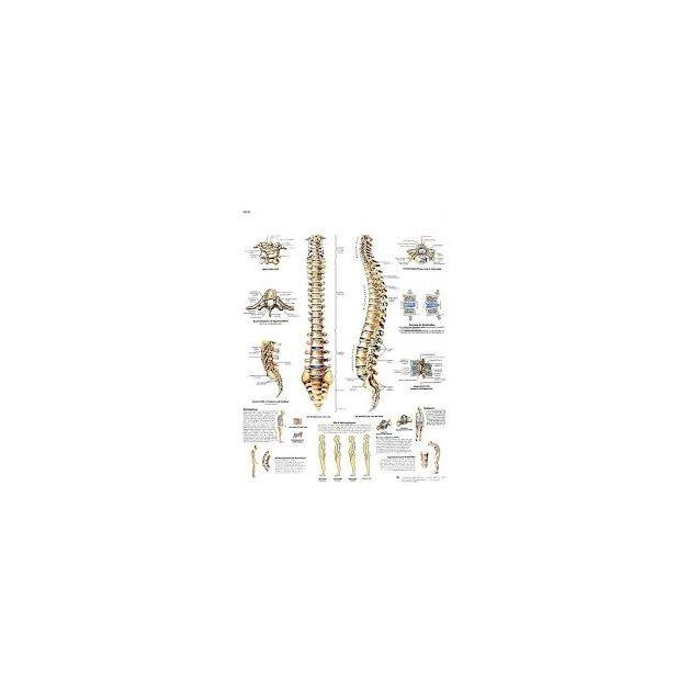 Spinal Column Chart