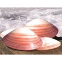 Massage Shells